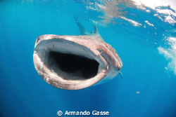 Whale shark in the blue by Armando Gasse