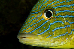 Close up of a Grunt on Sunset Reef off Compass Point, Gra... by Paul Colley