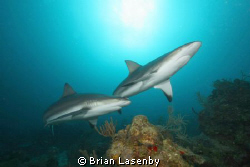 Reef sharks - 3 miles offshore of Roatan by Brian Lasenby