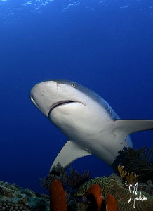 This image was taken during a dive at Ginormous Reef. The... by Steven Anderson