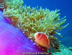 Anemone up close by Wijnand Plekker