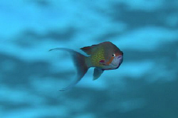 A male Anthias in mid water above the wreck of the Kingston. by Paul Colley