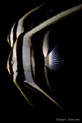 Twin Batfish by Sangut Santoso