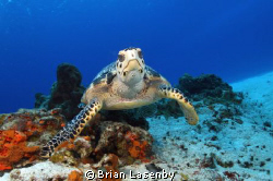 Hawksbill Turtle pausing to check me out by Brian Lasenby