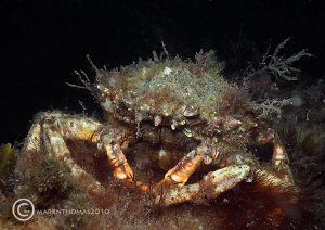 Spiny spider crab under Trefor Pier, N. Wales. May 2010.... by Mark Thomas