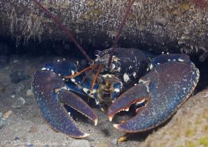 Common Lobster. Trefor pier. D3, by Derek Haslam