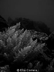 Asparagopsis armata! by Elia Correia