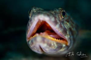 Lizard Fish by Julian Cohen