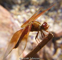 Drangon Fly buy the pond. by Scott Johnson
