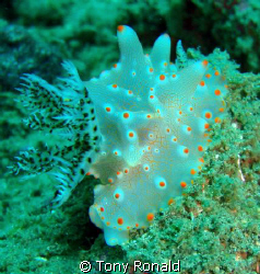Cool Nudibranch by Tony Ronald