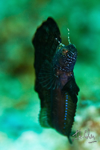 Sail Fin Blenny by Julian Cohen