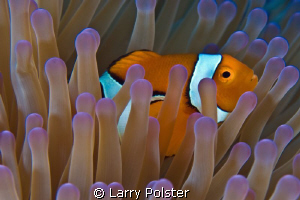Nemo, home with his beautiful Anemone  D300 - 60 mm by Larry Polster