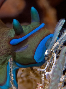 """""""Enjoy your meal"""" Nudibranch seen at Kaai Village, moalb... by Henry Jager"""
