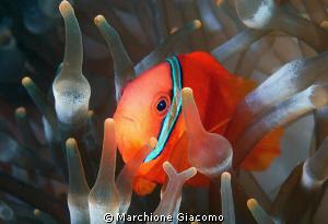 Nemo Nikon D200:60 micro nikon. Twin strobo Sea and Sea ... by Marchione Giacomo
