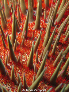 Crown of thorns starfish.