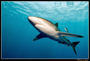 Silky sharks back in the Red Sea... by Dray Van Beeck