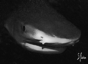 This image of a Tiger Shark was taken at Tiger Beach, I l... by Steven Anderson