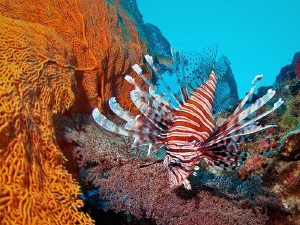 """""""Lionfish"""" from the 'marine sanctuary' dive spot near Ka... by Henry Jager"""