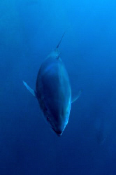 Bluefin Tuna by Paul Colley
