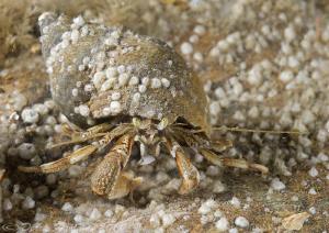 Hermit crab. Menai straits. D3,60mm. by Derek Haslam