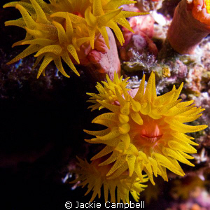 Coral Polyps. Taken at night with canon G9 and internal ... by Jackie Campbell