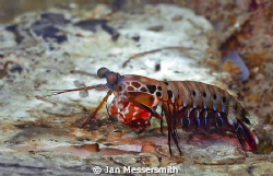 Mantis Shrimp found on the port wing of The Green Dragon ... by Jan Messersmith