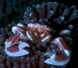 Fine Porcelain. Porcelain crab image from North Sulawesi.... by Beverly Speed