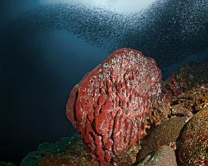 """Sponge, Sea Cucumbers and Sardines"" This fantastic situ... by Henry Jager"