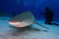 Lemmon shark. by Miguel Cortes