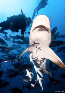 Brandon Paige from Aquatrek Fiji extreme shark diving, sw... by Sam Cahir