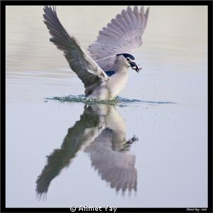 Night heron in hunt by Ahmet Yay