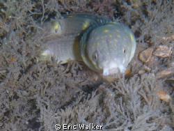 Sharptail Eel by Eric Walker