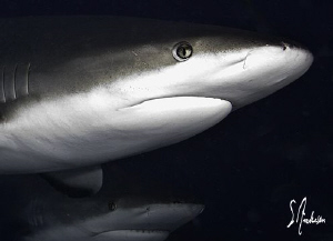 Closeup of a Reef Shark and another one lurking in the sh... by Steven Anderson