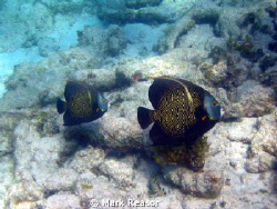 Two intermediate French Angelfish inside the barrier reef... by Mark Reasor