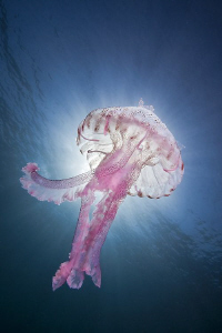 Luminescent jellyfish ( Pelagia noctiluca ) by Roland Bach