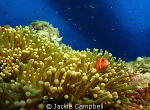 This anenome fish and large anenome was taken on the Shin... by Jackie Campbell