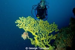 YELLOW GORGONIANS by George Tzanakis