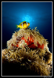 Red anemone and anemone fish II. by Dray Van Beeck