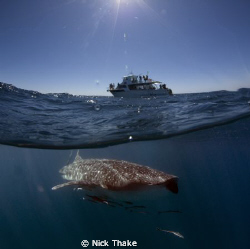 Vessel Venture 4 meets whaleshark! Another easy subject o... by Nick Thake
