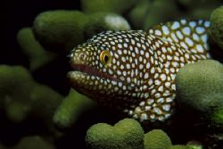 Whitemouth moray eel photographed at Hanauma Bay, Oahu, H... by Glenn Cummings