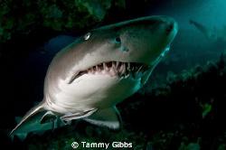 A grey nurse shark gets very, very close to my dome port ... by Tammy Gibbs