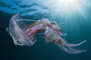 "this two Pelagia noctiluca making ""la ola"" underwater"" :) by Roland Bach"