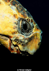 Loggerhead turtle portrait, taken today at Julian Rocks, ... by Michael Gallagher