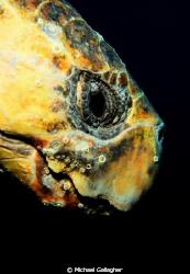 Loggerhead turtle portrait, taken today at Julian Rocks, ... by Michael Gallagher