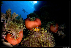 Red anemone and anemone fish XI. by Dray Van Beeck