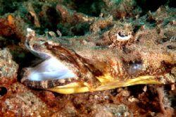 Burp!  Crocodile fish taken in Lembeh. Nikon D70, 60mm l... by Beverly Speed