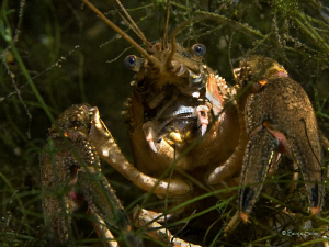 american crayfish in a freshwaterlake , taken with Canon G10 by Beate Seiler