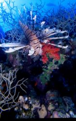 lion fish, saint jhons reef, red sea egypt by Marco Zanini