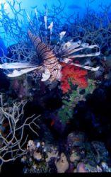 lion fish, saint jhons reef, red sea egypt by Marco Zanini