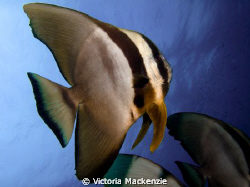 Beautiful Batfish by Victoria Mackenzie